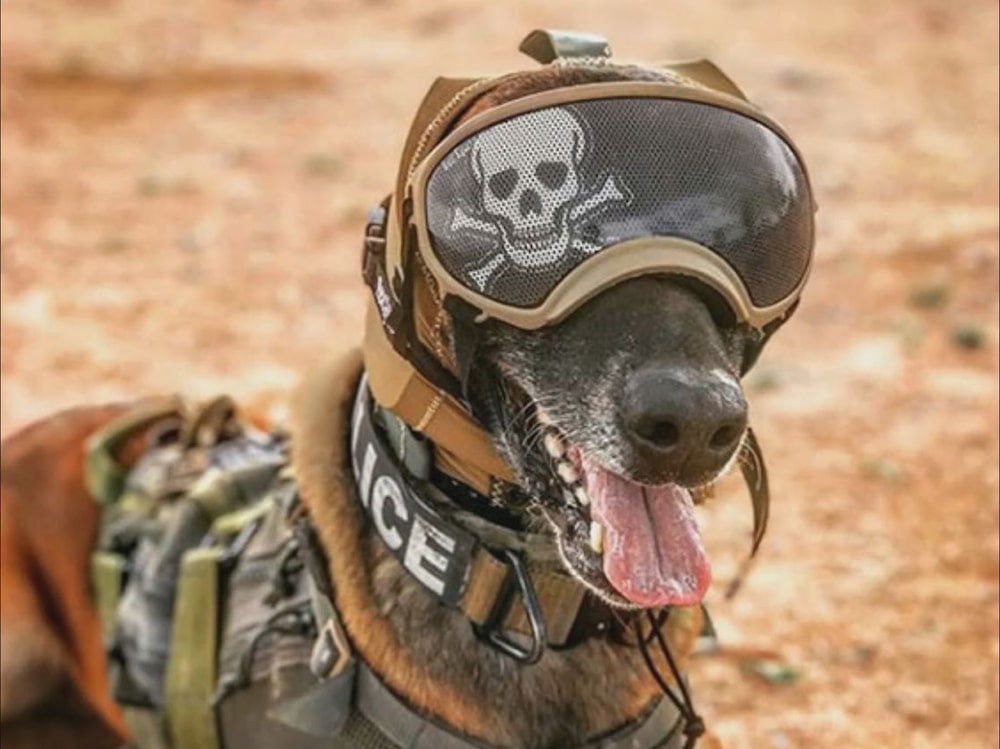 It is also compatible with other gear used by working dogs, such as goggles.