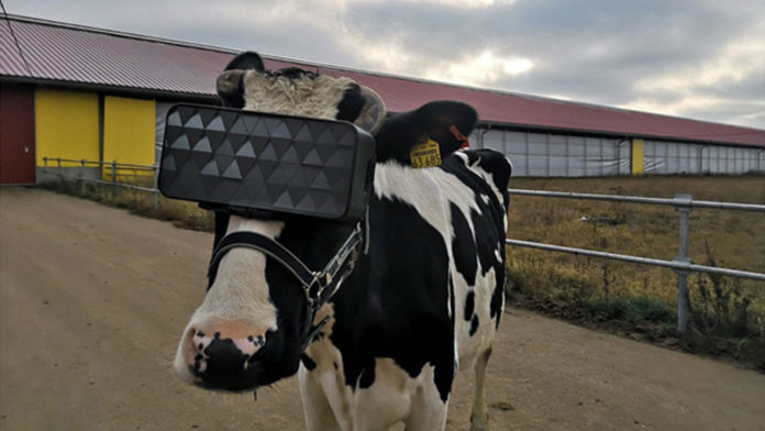 On a farm near Moscow tested VR glasses for cows.