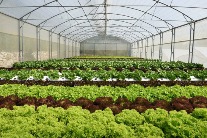 Plants can grow well in greenhouses with built-in transparent solar cells.