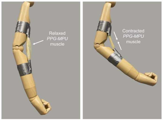 An artificial muscle made of a stretched shape memory polymer contracts upon heating, bending a mannequin's arm.